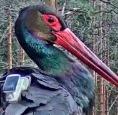 Black Stork Nest in Karula 2019 - Page 316 - Looduskalender