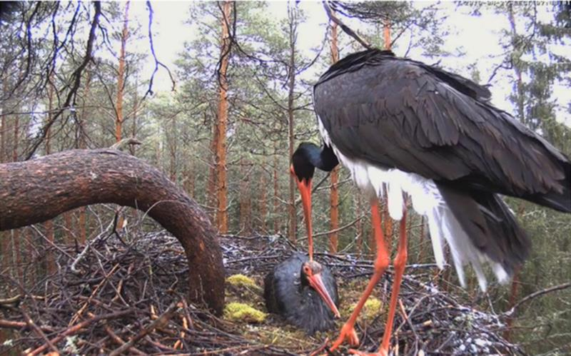 Black stork pair at nest, male Karl at left replaces brooding female Kati