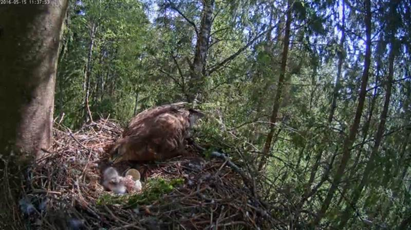 Another new being has entered the world, the second buzzard-to-be was hatched on Sunday and we expect the third to be hatched on Tuesday