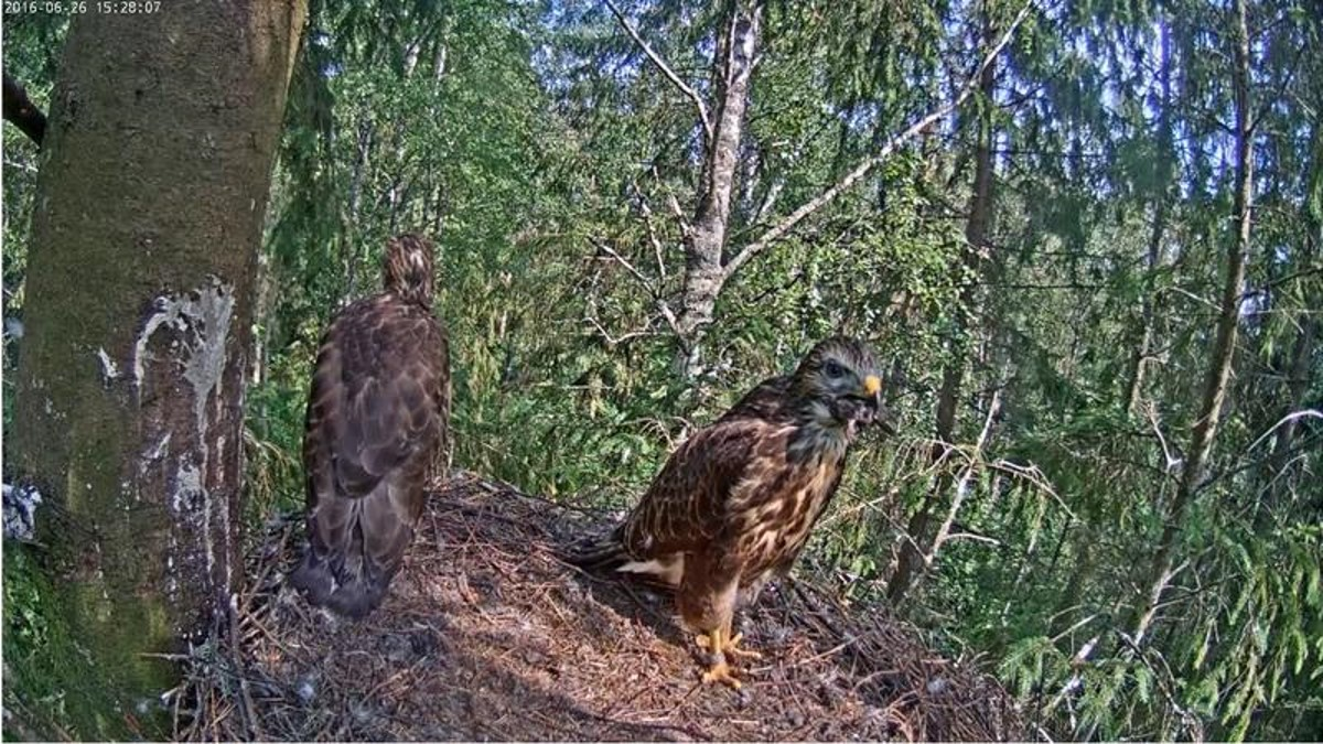 At the moment both buzzard chicks are in the nest