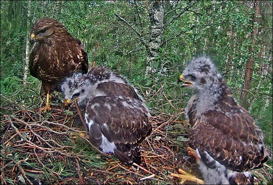 Adult with the buzzard chicks