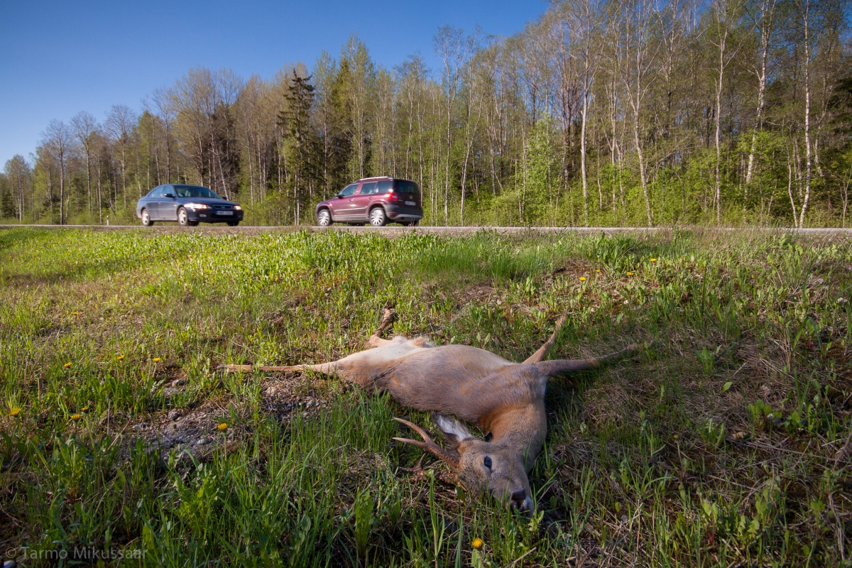 Posted by the Animal of the Year team 04.03.2017 Among the large game animals the roe deer is the most frequent victim in traffic in Estonia. Car drivers should be particularly attentive in the Tiskre area and around the Jägala river bridge where a road with dense traffic and a traditional roe deer path coincide. Photo: Tarmo Mikussaar