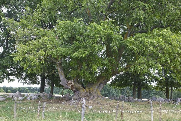 The Ruhnu Kuningapuu (King's Tree) known as the Holma White Elm is estimated to be a little more than 300 years old