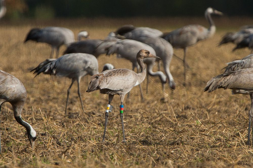 Juvenile crane from this year  with transmitter