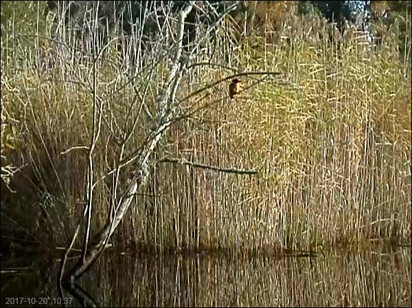 Kingfisher in typical outlook spot for prey