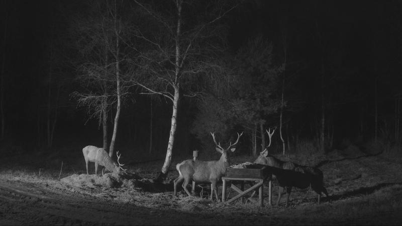 Deer to the right with five antler tines but only one antlerl….