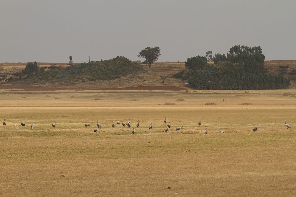 Cranes in wintering area