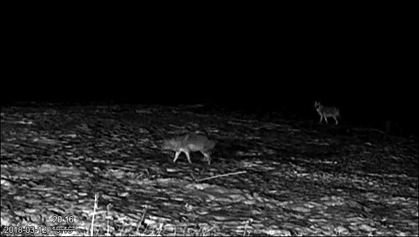 A couple of days ago the jackals were moving on the southern shore of Matsalu