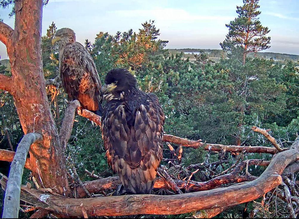 Eaglet and mother Suvi in early morning waiting for family father