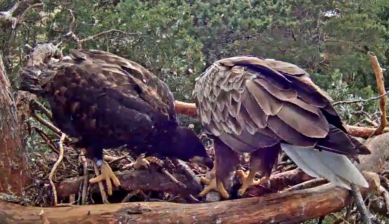 After 4 pm on Monday male Sulev came to feed the eaglet