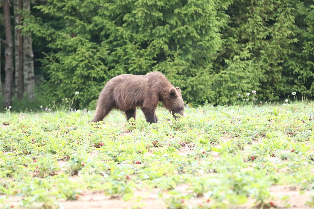 Male bear in strawberry field