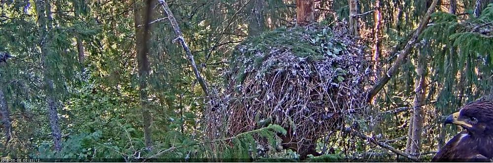 The young spotted eagle has  chosen a place next to the web camera