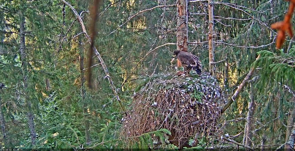 Male Tõnn brought a largish prey that the eaglet manages very well on his own