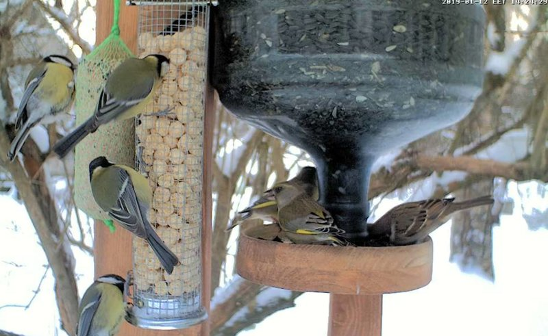 Great tits, greenfinches, tree sparrows…