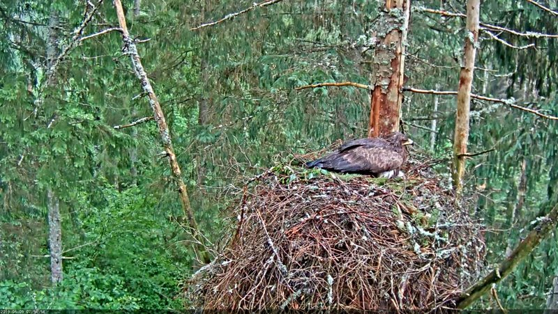 In the heavy rain with thunder  at night the nest forest became quite wet and mother Tiiu seems quite soaked