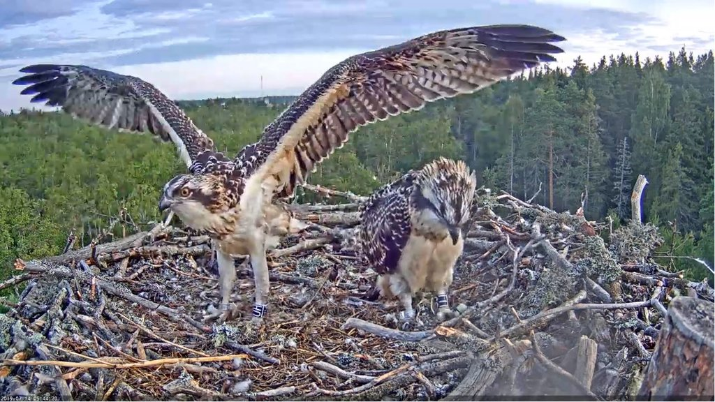 The young ospreys look good, with rings on their legs  …
