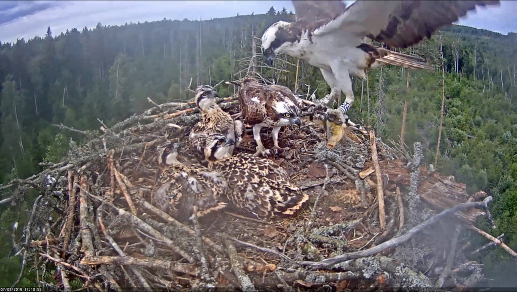 Photo of the whole osprey family…