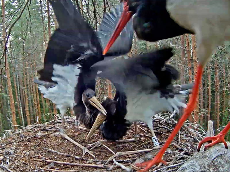 Mother Kati arrived at the nest; young storks waiting for food
