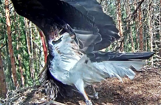 The young bird Aru (letter A on the leg number) has injured the underside of its wing on its test flights but the slight tear seems to be healing. It is the bird that spends most of its time in the nest. The other young bird can be seen in early morning