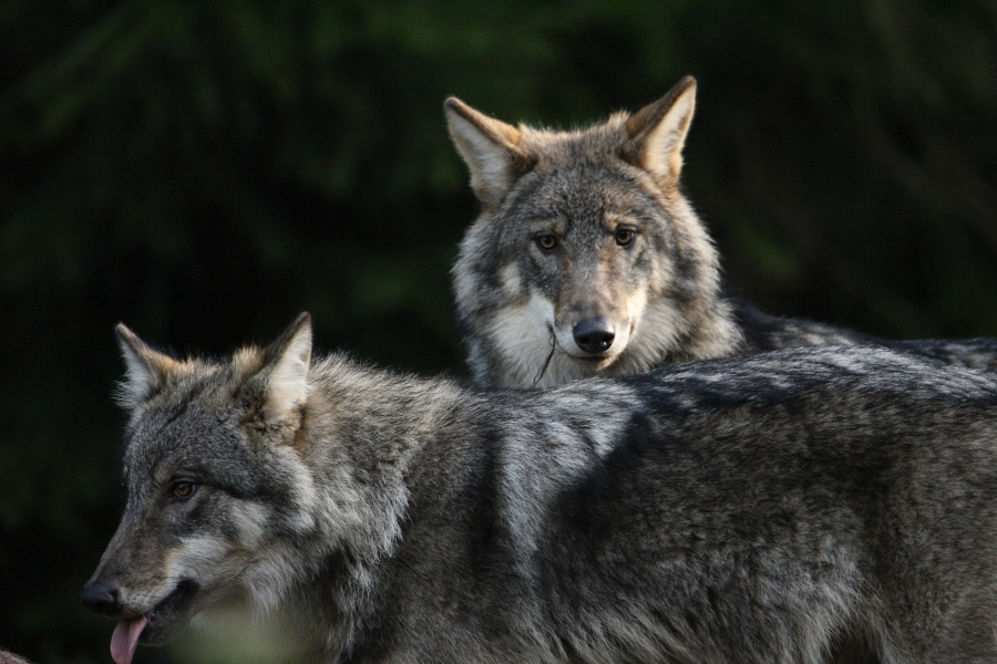 .The Environmental Board has confirmed a primary hunting number of 61 specimens for wolves